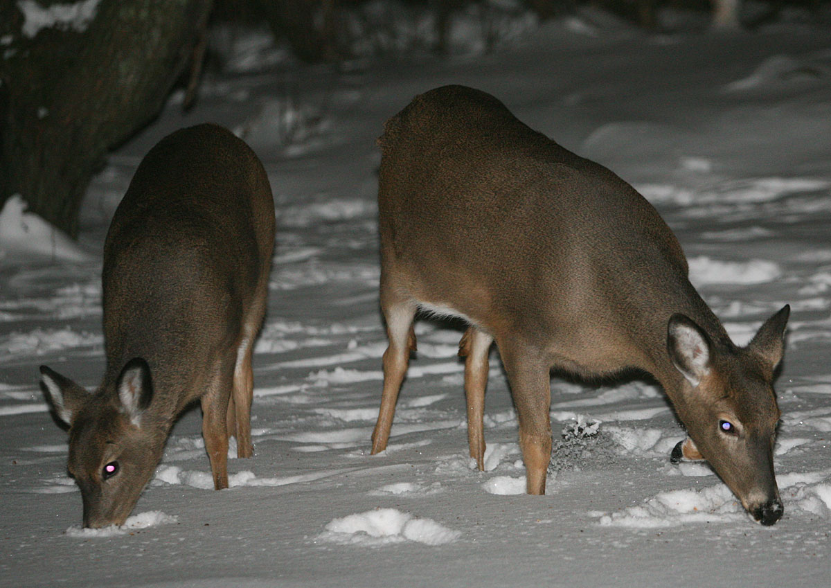 tonyrogers com deer in the backyard